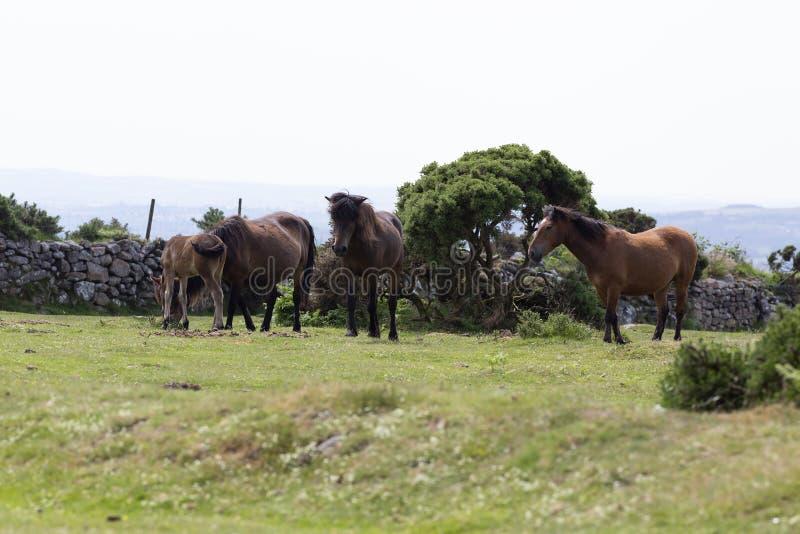 Group of Dartmoor ponies in Dartmoor, Devon, UK royalty free stock image