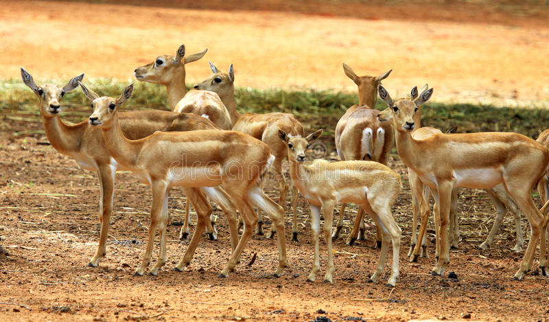 Download A group of deer stock photo. Image of grass, natural - 26801532