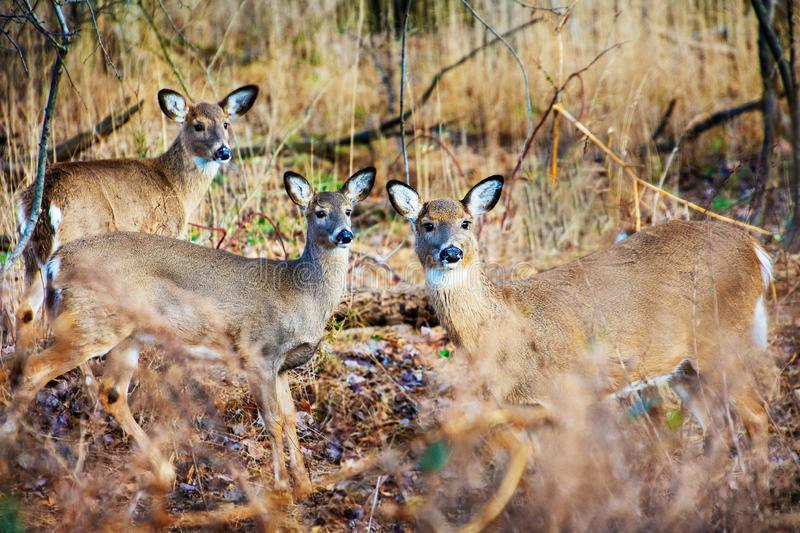 A group of deer in forest clearing. A small group of white tailed deer in winter coats , Odocoileus virginianus, in a forest clearing stock photography