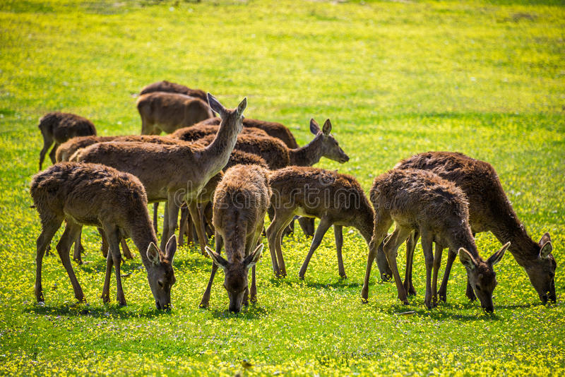 Group of Deers eating grass stock image