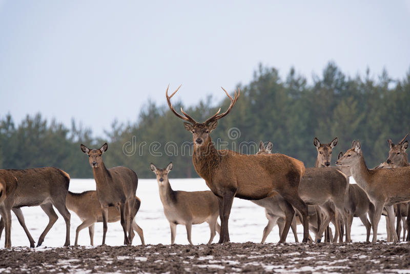 Group Of Different-Aged Red Deer Cervus Elaphus At Snow-Covered Winter Field Against A Forest Background.Adult Red Deer Ce stock images