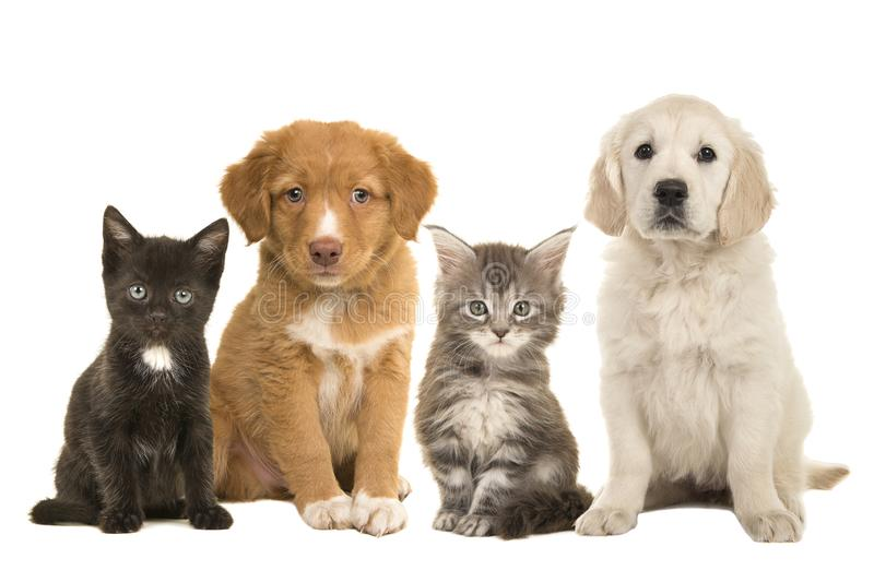 Group of young pets two sitting puppies and two sitting kittens facing the camera isolated on a white background stock photo