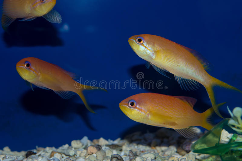 Group of Dispar Anthias. The Dispar Anthias is commonly known as the Madder Seaperch. Males have a bright red dorsal fin and lack any red stripes on their tail stock photo