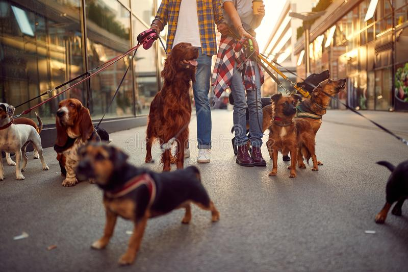 Group of dog walking on leash with professional dog walker stock photography