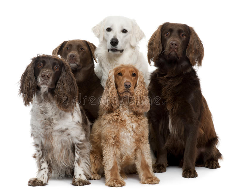 Group of dogs. Labrador Retriever, American Cocker Spaniel, English Cocker Spaniel and Kuvask, in front of white background