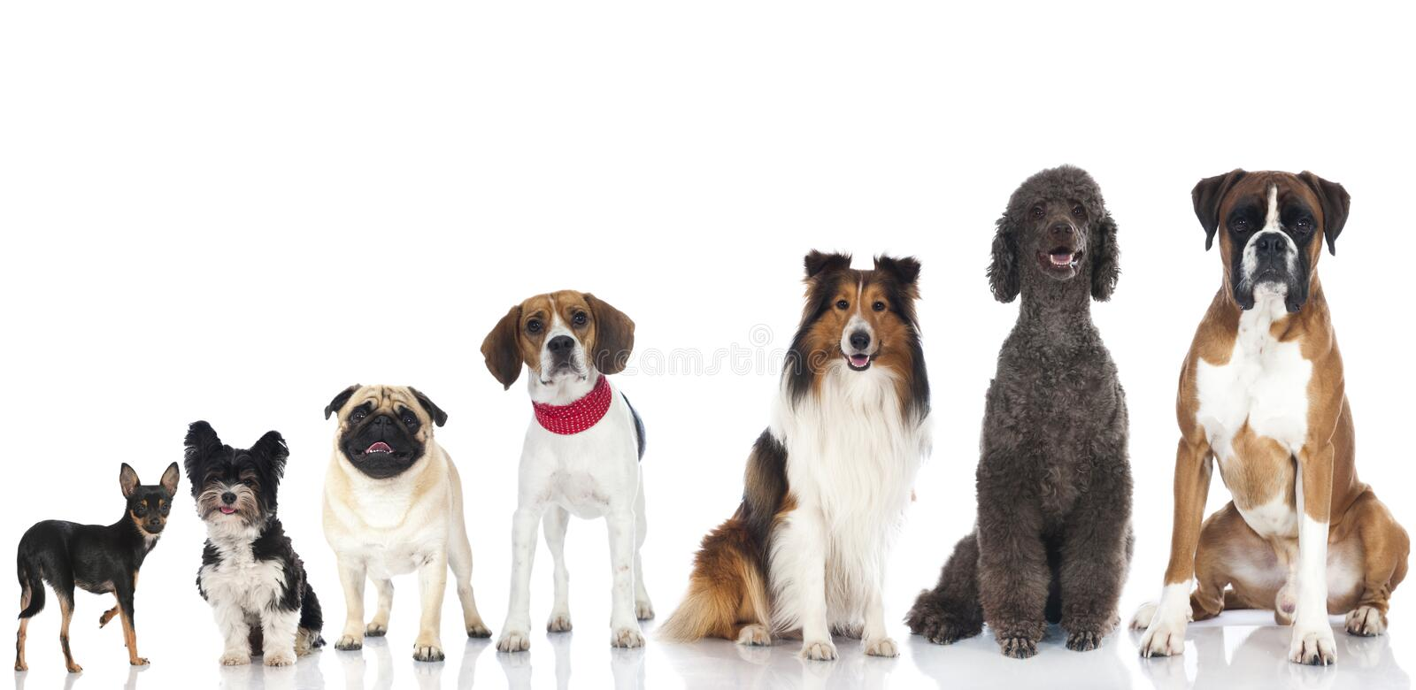 Group of dogs. Group of pedigree dogs on white