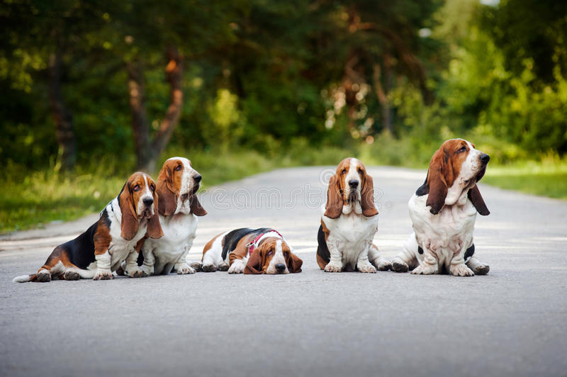 Group of dogs basset hound stock image