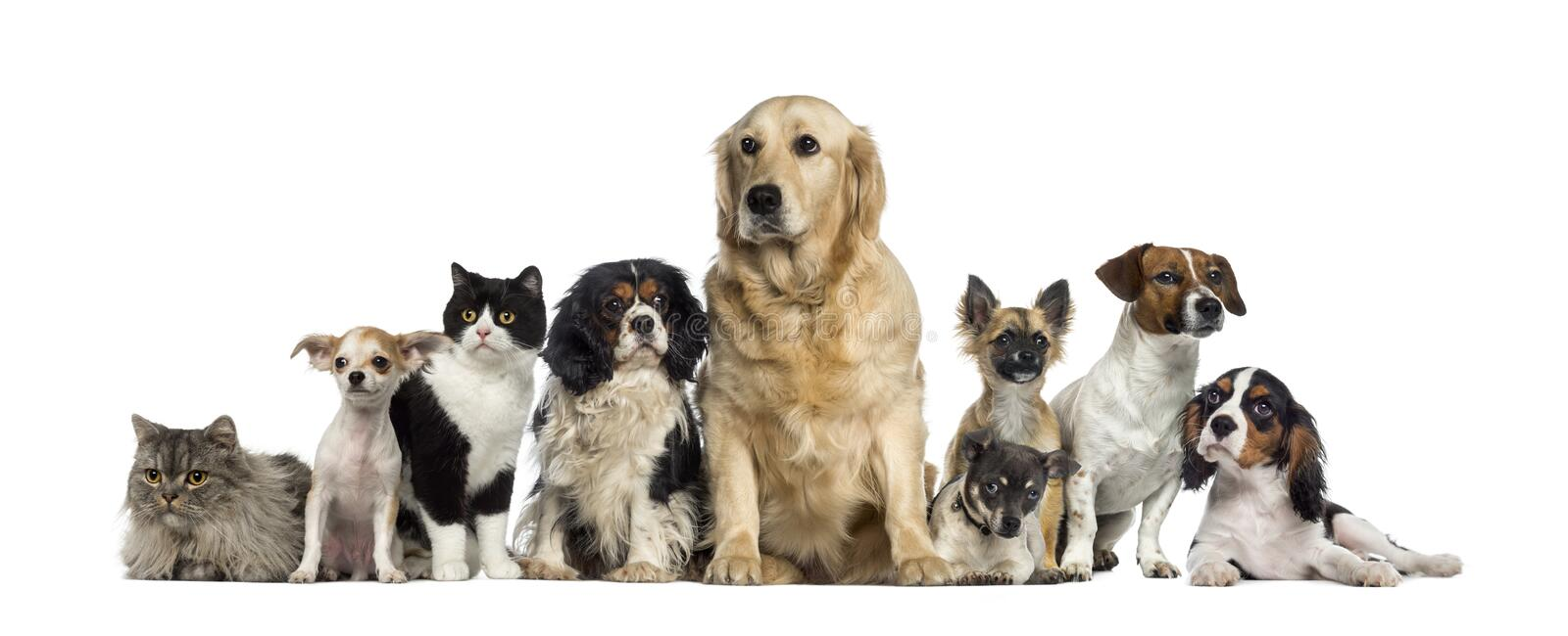 Group of Dogs and a cat. Isolated on white royalty free stock image
