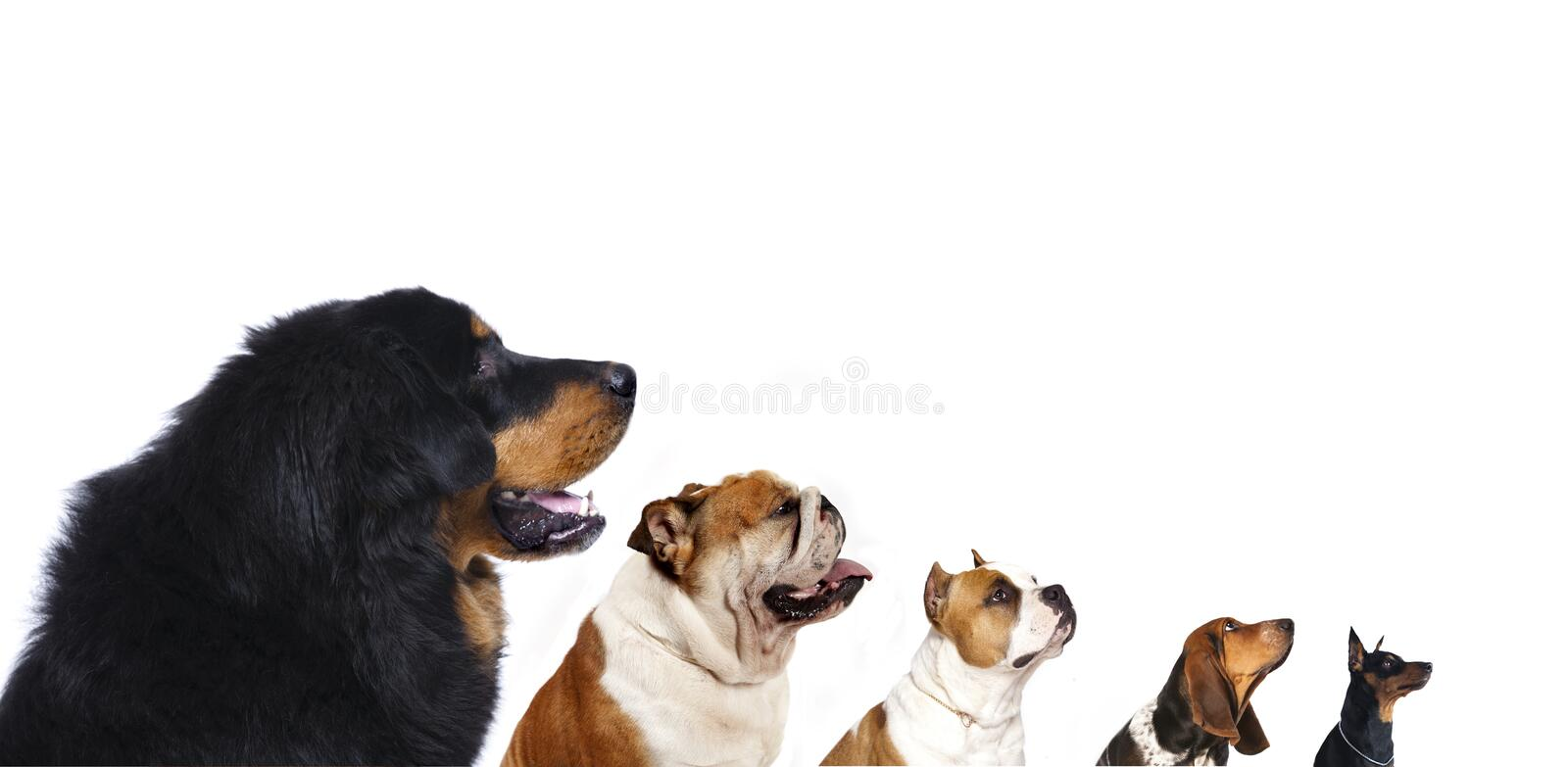 Group of dogs. Of different breeds on a white background looking up stock images
