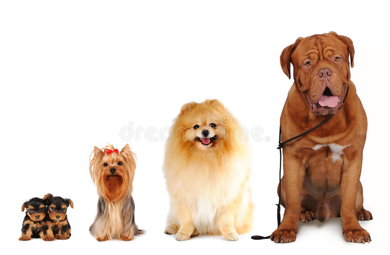 Group of dogs different sizes isolated stock photography