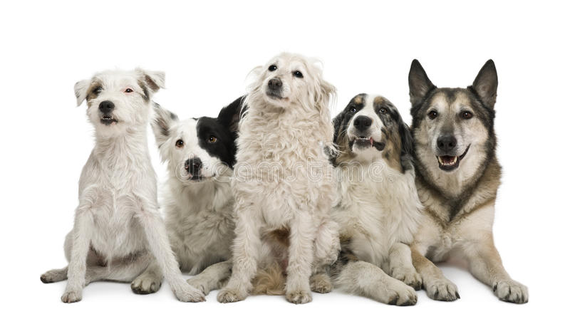 Group of dogs in front of white background. Two mixed-breeds, border collie, Australian shepherd, parson russel terrier, in front of white background royalty free stock photography