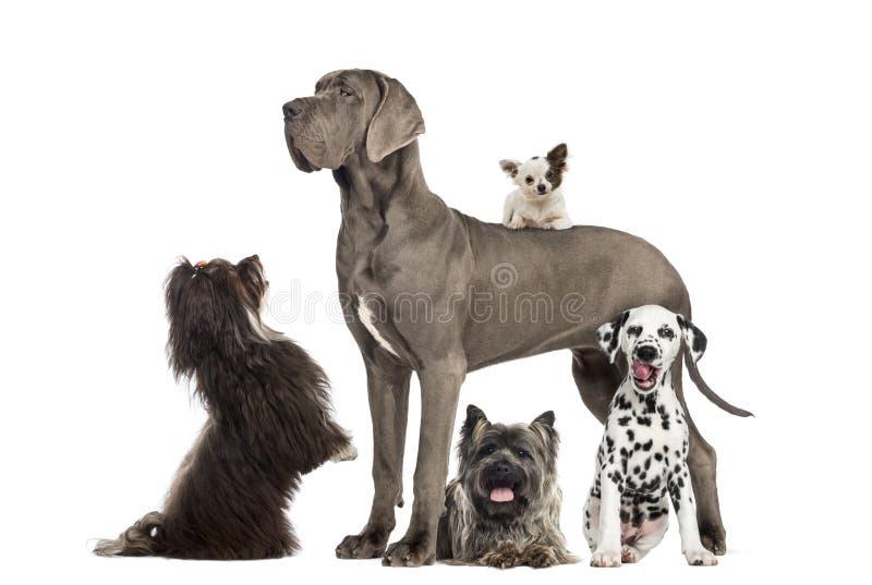 Group of dogs. Great dane, dalmatian, chihuahua