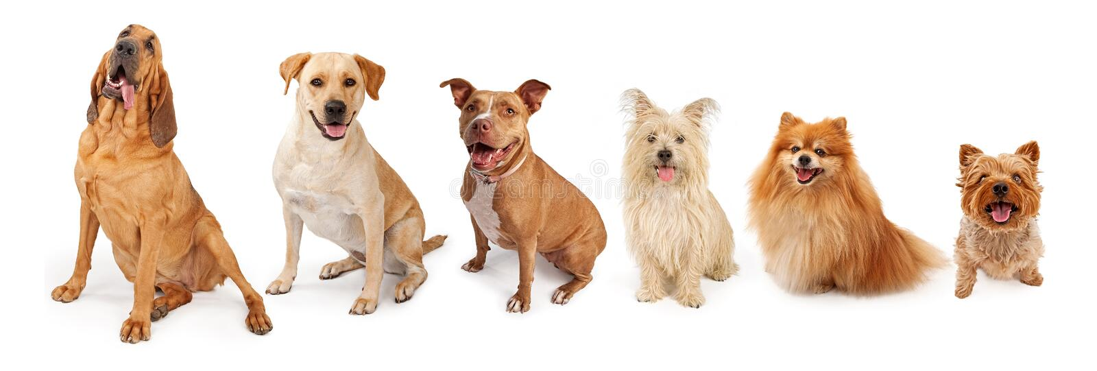Group of Dogs From Large to Small. A group of five dogs of popular breed from large to small. Isolated on white royalty free stock photo