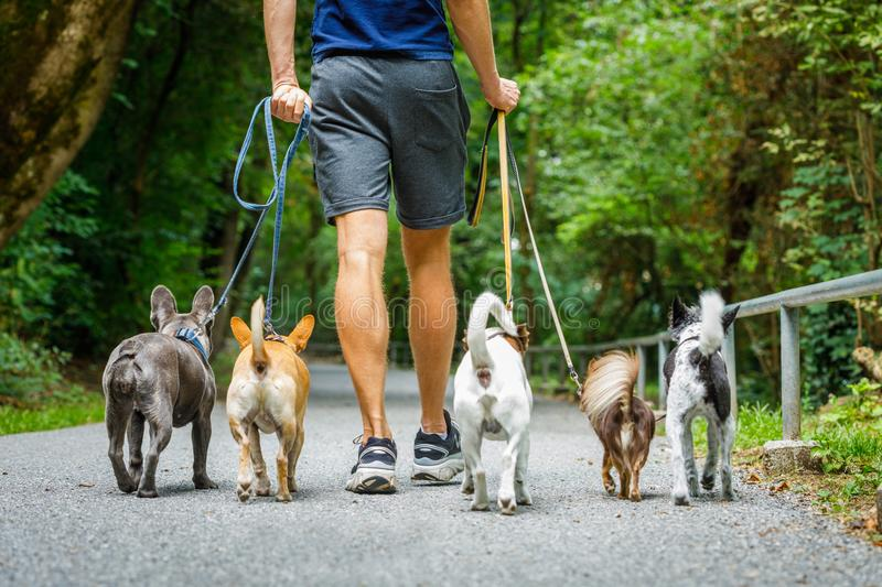 Dogs with leash and owner ready to go for a walk stock photography