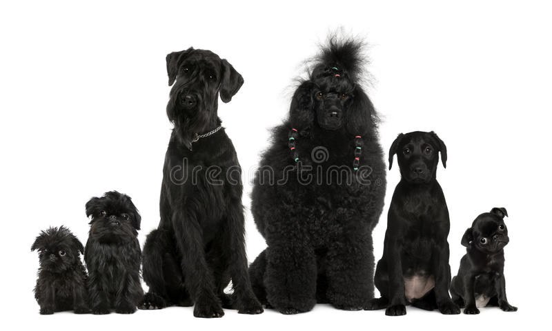 Group of dogs, Poodle, pug, griffon Bruxellois royalty free stock image