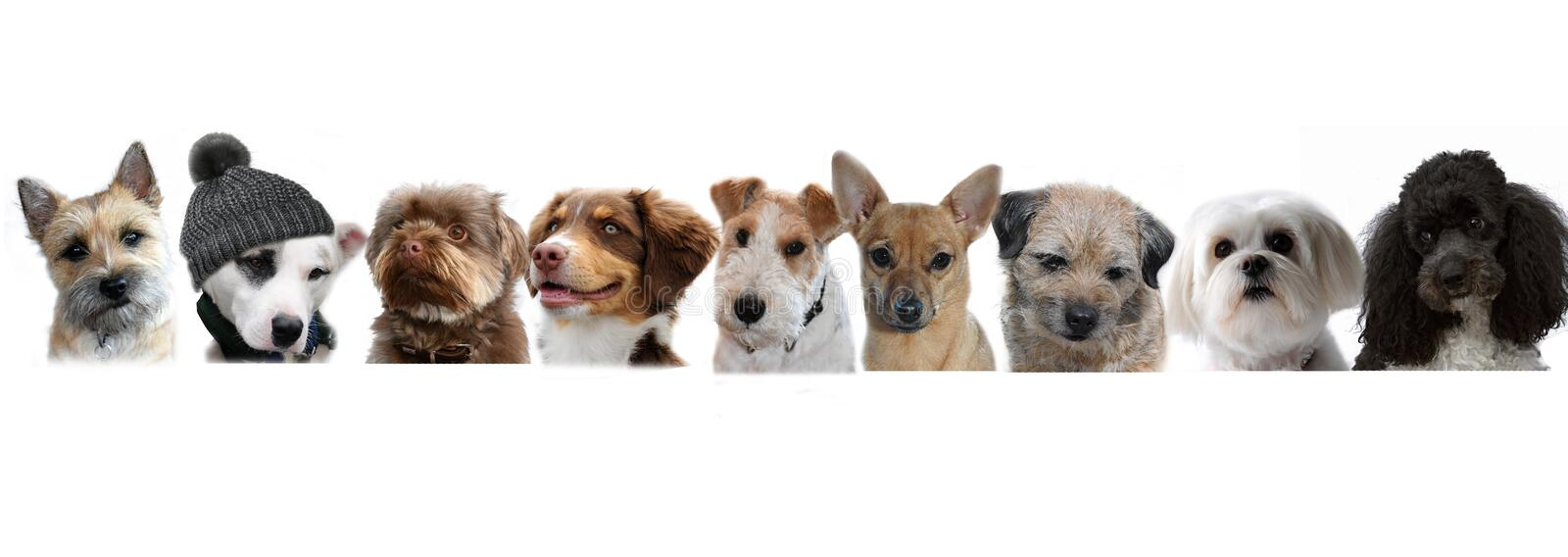 Group of dogs. Portraits of dogs in a row on white background, one is something special, he wears a hat