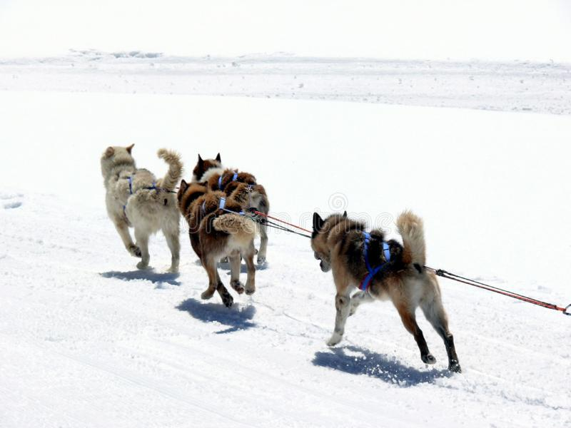 Sled dogs in the snow stock photography