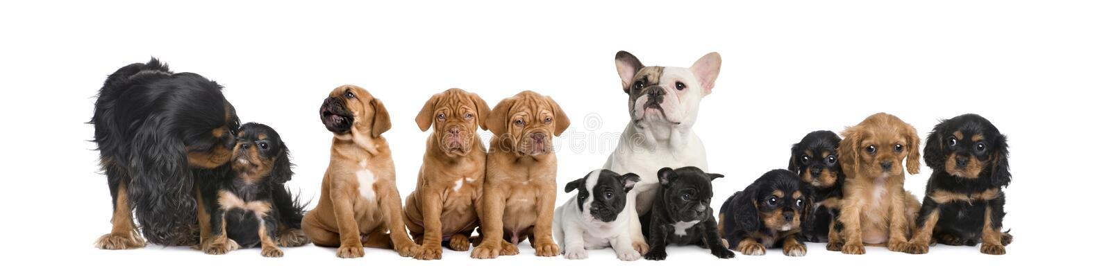 Group of dogs sitting in front of white background stock images