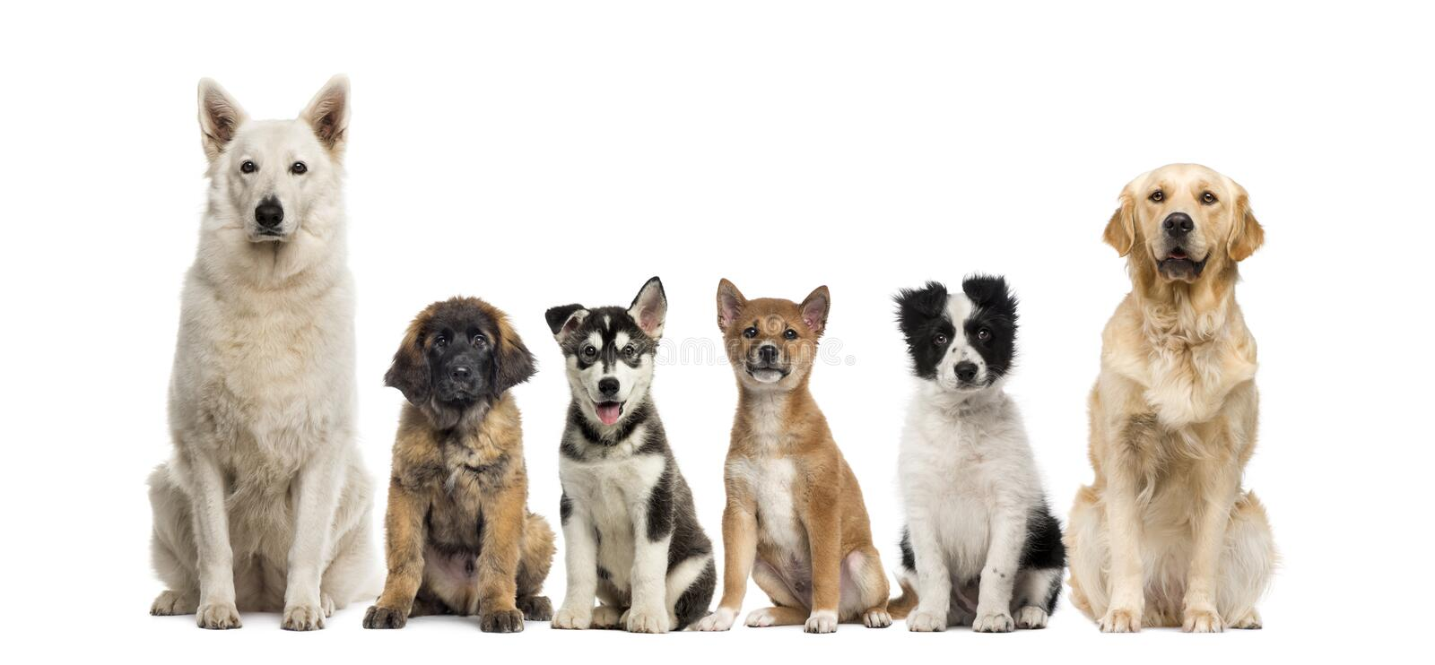 Group of dogs sitting. In front of a white background stock photo