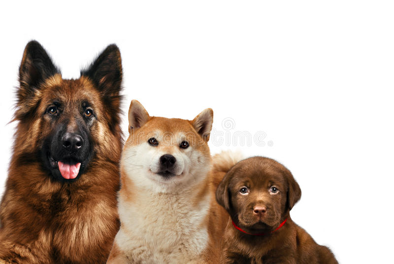 Group of dogs sitting in front of a white background stock image