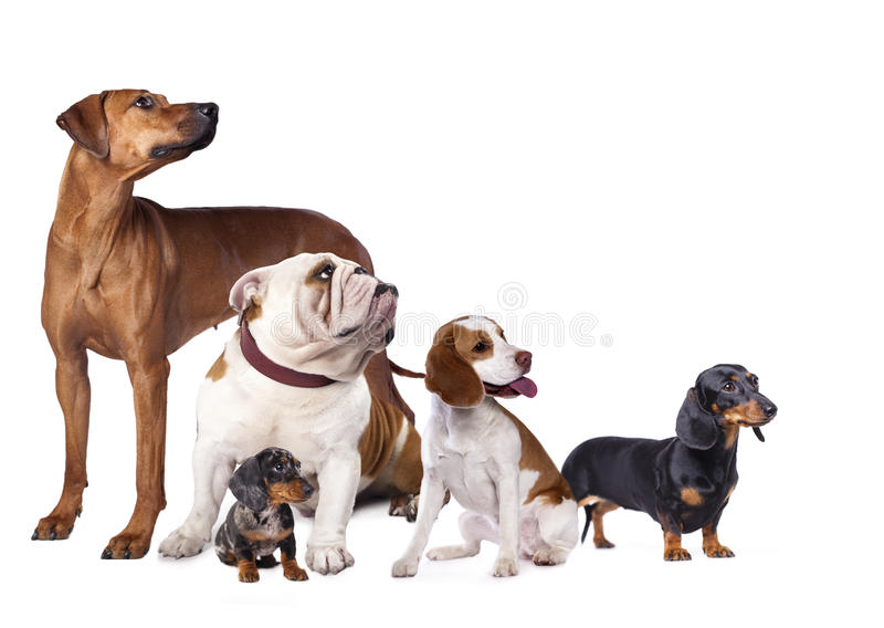 Group of dogs. A white background royalty free stock photos