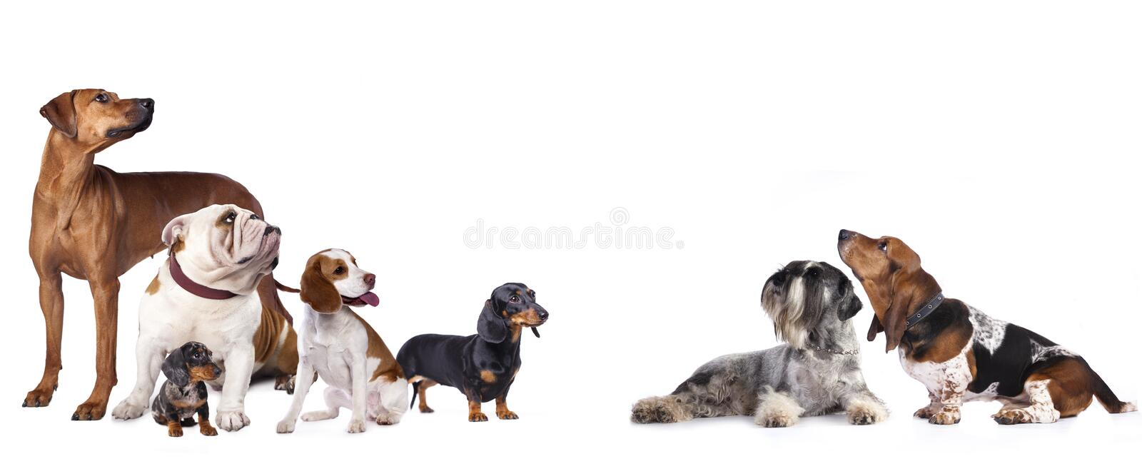 Group of dogs. On a white background standing and looking up stock images