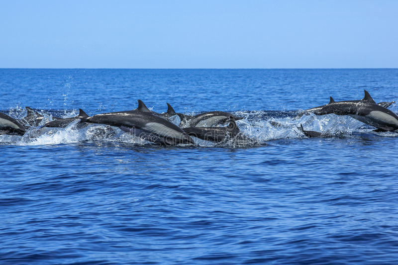 Group of Dolphins jumping. Dolphins jumping in Mexico. Isla Espiritu Santo near La Paz, in Baja California stock images