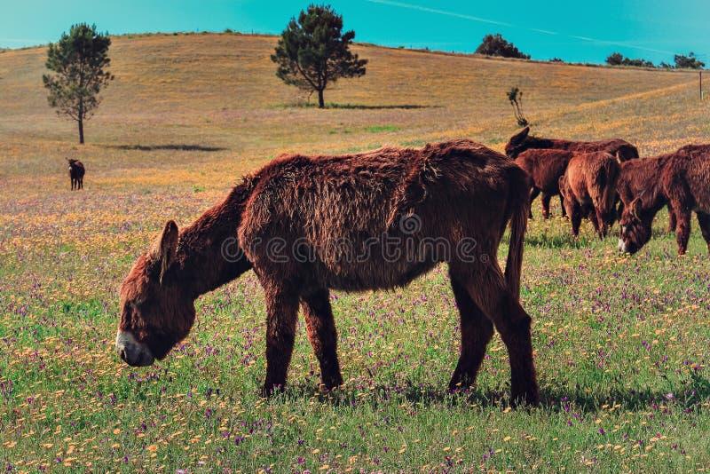 Donkeys to graze. A group of Donkeys grazing in a farm in Sintra stock photos