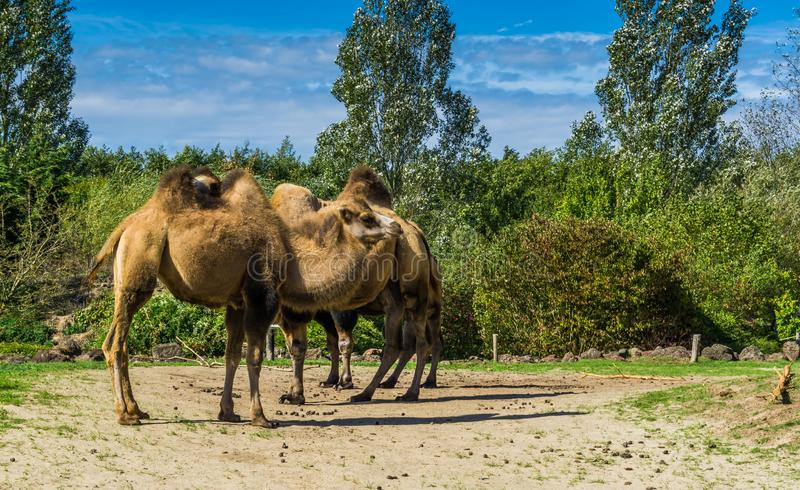 Group of double bumped camels standing together in a nature landscape. A group of double bumped camels standing together in a nature landscape royalty free stock photo