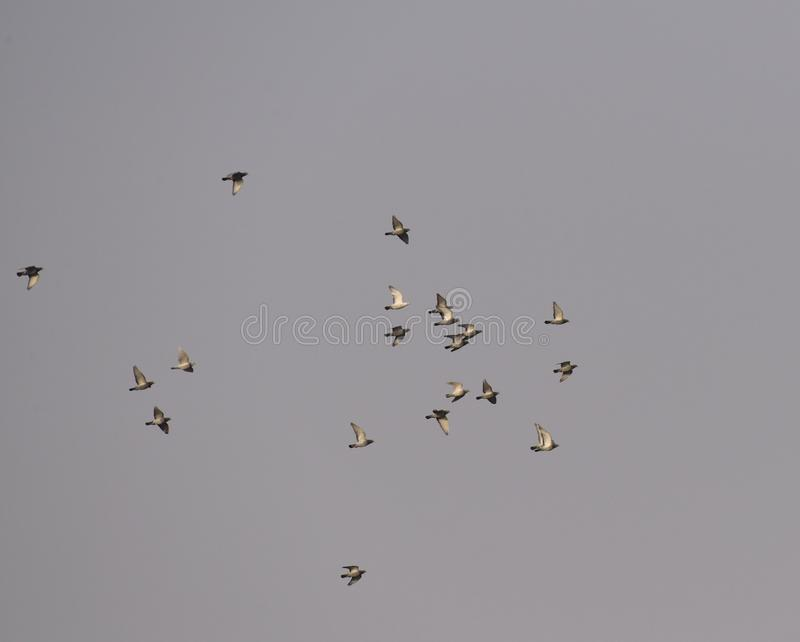 A group of dove flying in the sky royalty free stock photo