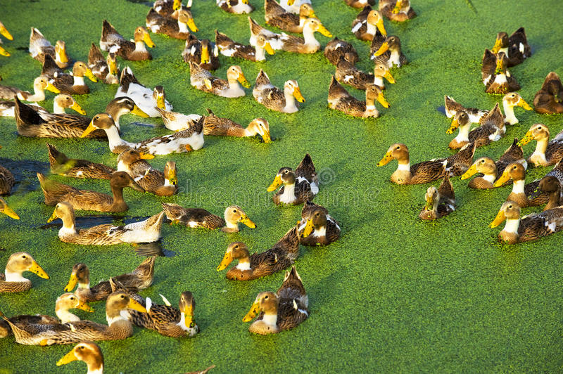 A Group Of Duck Royalty Free Stock Photo