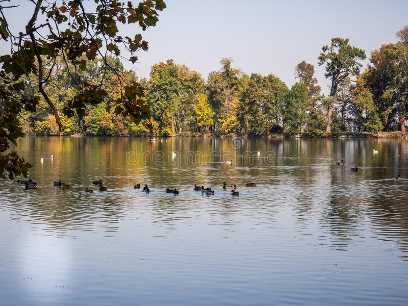 Group of duck birds in lake in evening light. Ducks in lake in the autumn evening light with colorful trees royalty free stock photos