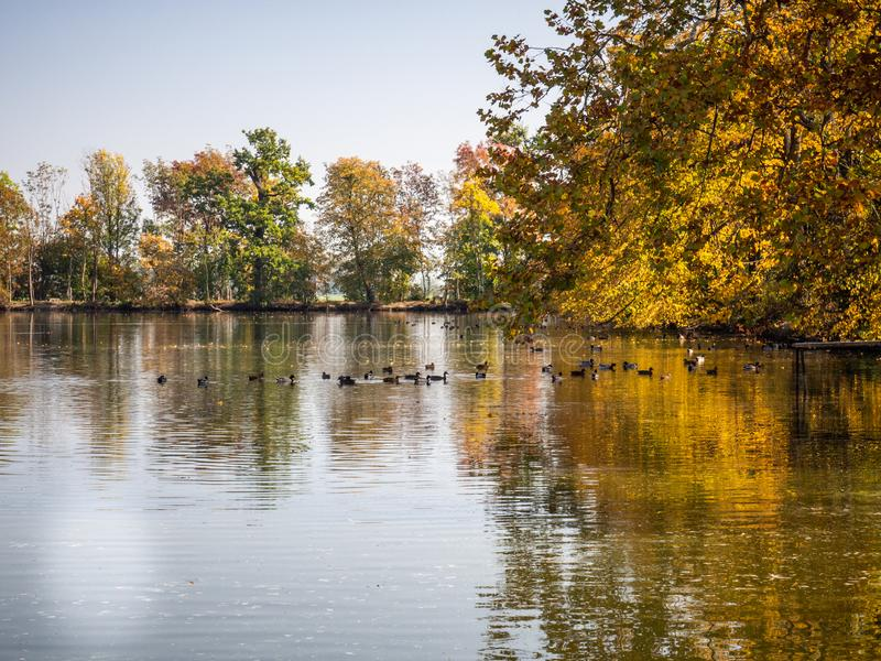 Group of duck birds in lake in evening light. Ducks in lake in the autumn evening light with colorful trees royalty free stock image