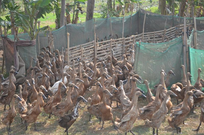 Group of duck walk on the farm. are fed to animals as economic to store eggs an. D meat for cooking royalty free stock photo