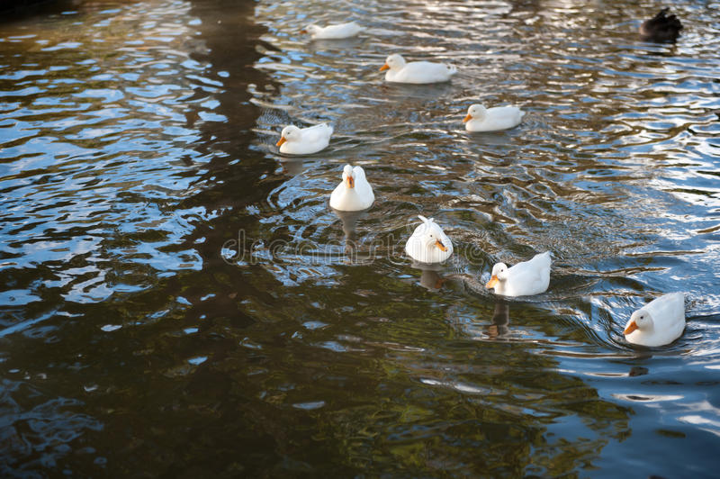 Group of duck on the water stock images