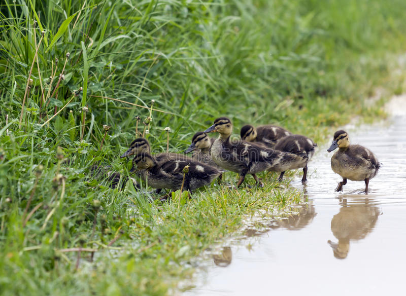 Group of ducklings hiding in the grass royalty free stock image