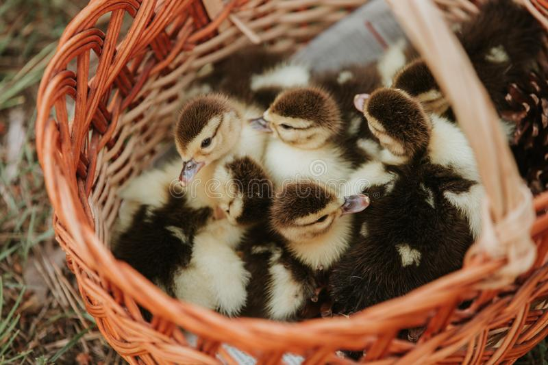Group of ducklings overlap on basket with straw, newborn duck with black and yellow feather ready for sell stock photography
