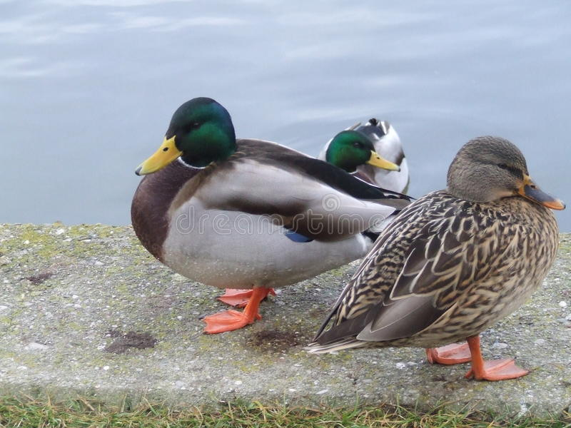 Group of ducks near water stock photography