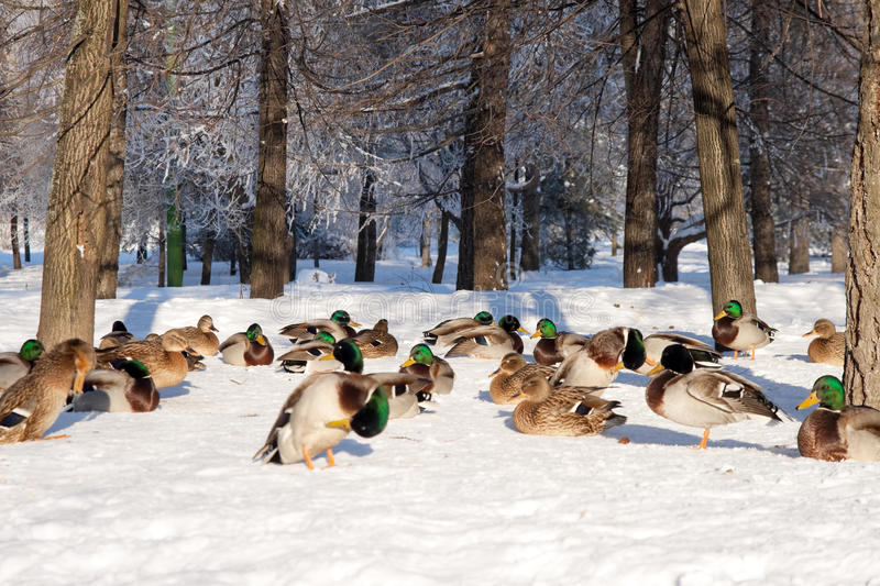 Download Group of ducks on snow stock photo. Image of outdoors - 12537708