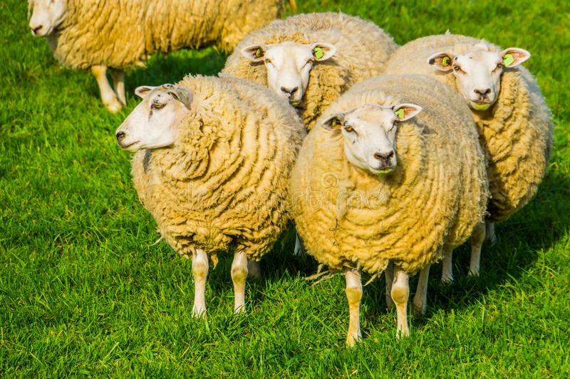 Group of dutch domestic sheep with blank ear tags standing together in the pasture, popular agricultural animal specie. A group of dutch domestic sheep with stock photo