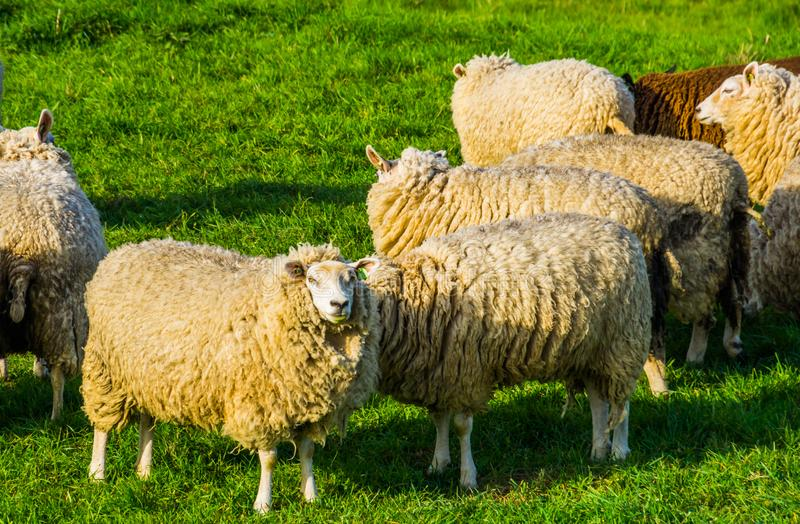 Group of dutch sheep with blank ear tags standing in the grass pasture, popular agricultural animals. A group of dutch sheep with blank ear tags standing in the royalty free stock photos