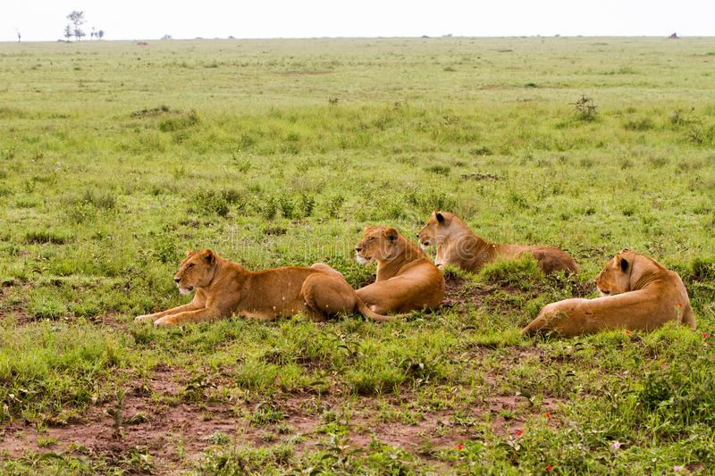 Group of East African lionesses Panthera leo preparing to hunt stock photo