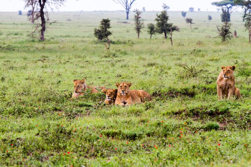 Group of East African lionesses Panthera leo preparing to hunt stock photos