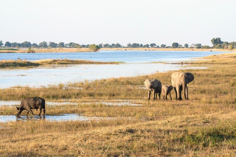 A group of elephants and a buffalo in Botswana. Near the border to Namibia royalty free stock photo