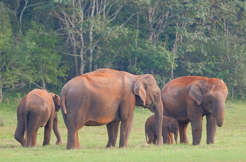 Elephants in Periyar National Park royalty free stock photography