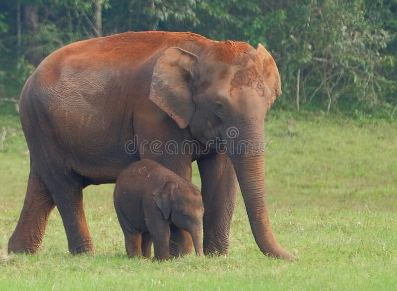 Elephants in Periyar National Park stock images
