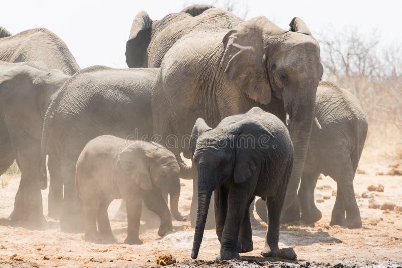 Group of elephants near waterhole stock images