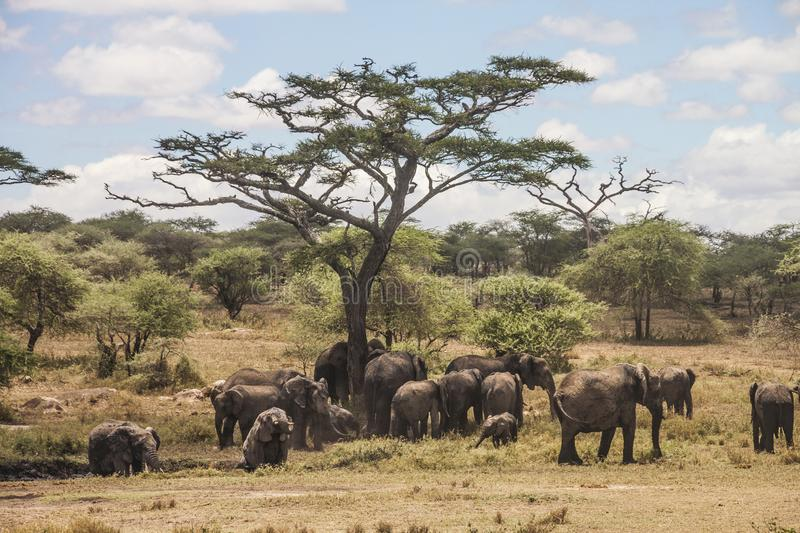 A group of elephants taking mud bath stock photo