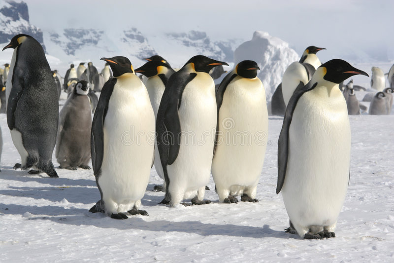 Group Of Emperor Penguins Stock Photo