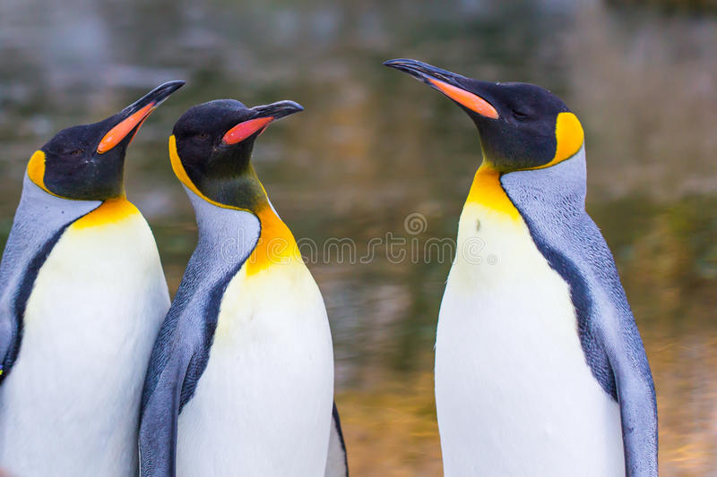 Group of emperor penguins stock image
